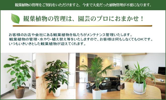 観葉植物のメンテナンス